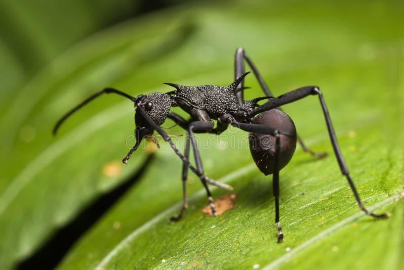 蚂蚁黑色尖刻 库存图片