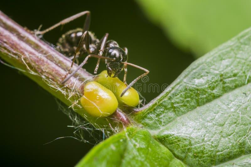 蚂蚁黑色 库存图片