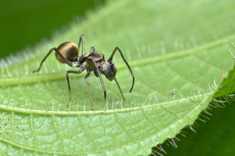 蚂蚁仿造蜘蛛 免版税库存照片