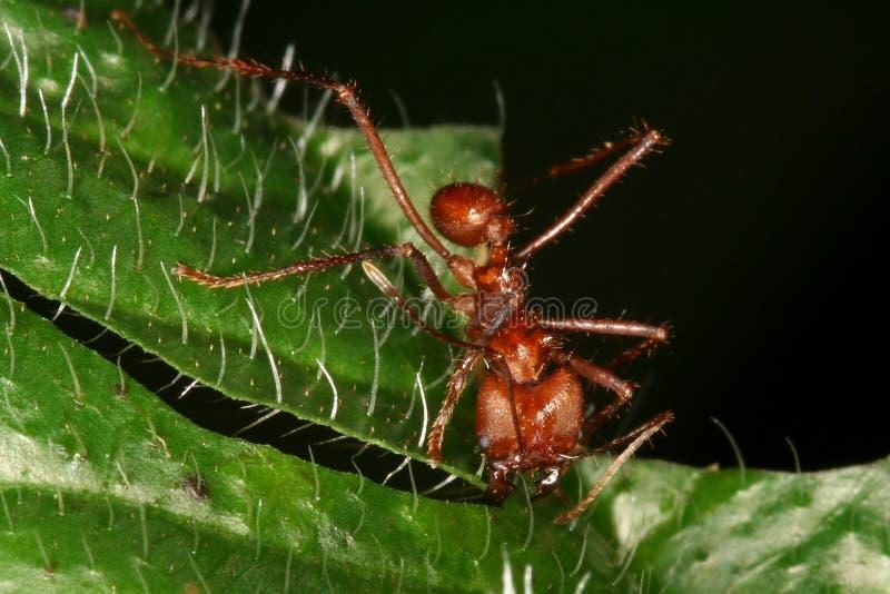 蚂蚁atta剪切叶子 免版税库存图片