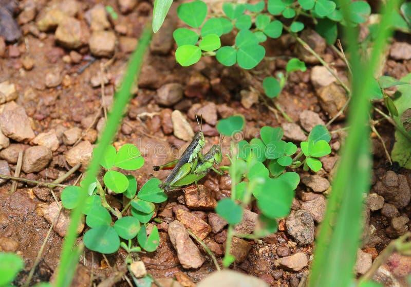 蚂蚱的夫妇特写镜头做在鲜绿色的叶子中的爱在热带森林里 免版税库存照片