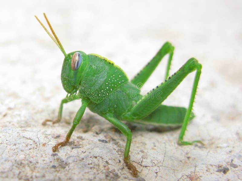 蚂蚱绿色 图库摄影