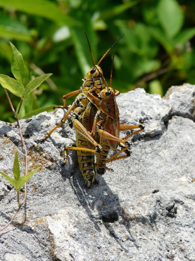 蚂蚱联接 图库摄影