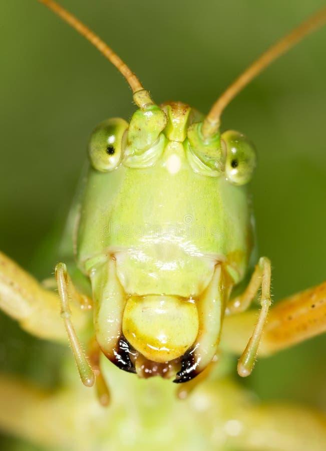 蚂蚱 2009朵超级花宏观的夏天 库存图片