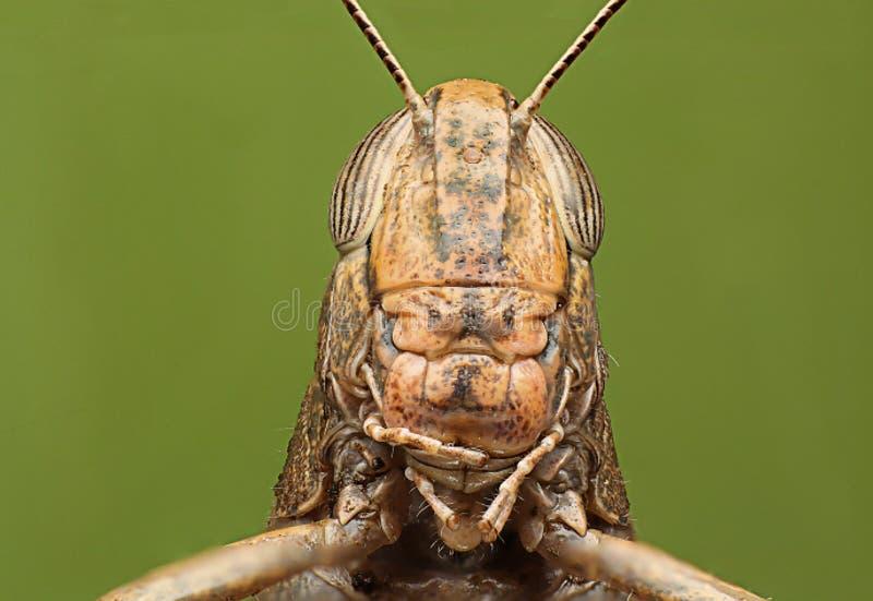 蚂蚱 绿色背景 详细的超级宏观射击 库存照片
