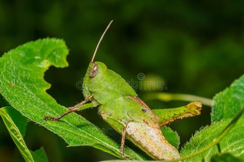 蚂蚱绿色叶子 免版税库存照片