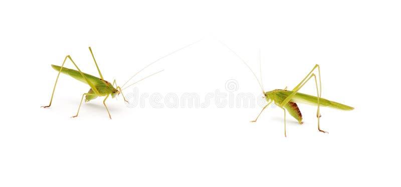 蚂蚱 免版税库存照片