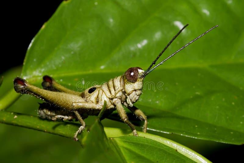 Download 蚂蚱 库存照片. 图片 包括有 宏指令, 亚马逊, 密林, 改良, 野生生物, 跳跃者, 昆虫, 厄瓜多尔, 通配 - 178616