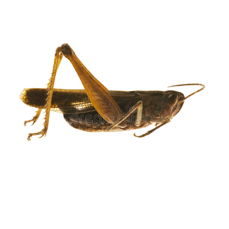 蚂蚱 免版税图库摄影