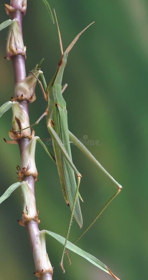 蚂蚱Acrida ungarica 库存照片