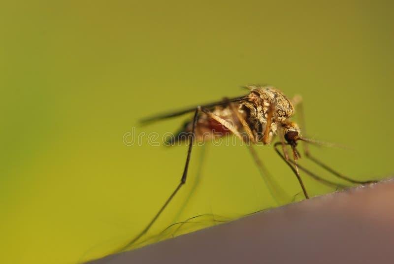 蚊咬 库存图片