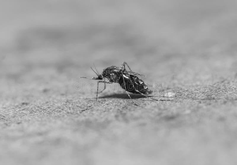 蚊子伊蚊属aegypti吮的血液宏指令  免版税库存照片