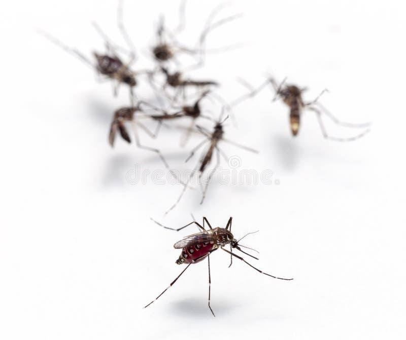 蚊子吮的血液宏指令在白色背景隔绝的,危险的蚊子是疟疾,脑炎登革热载体和 免版税图库摄影