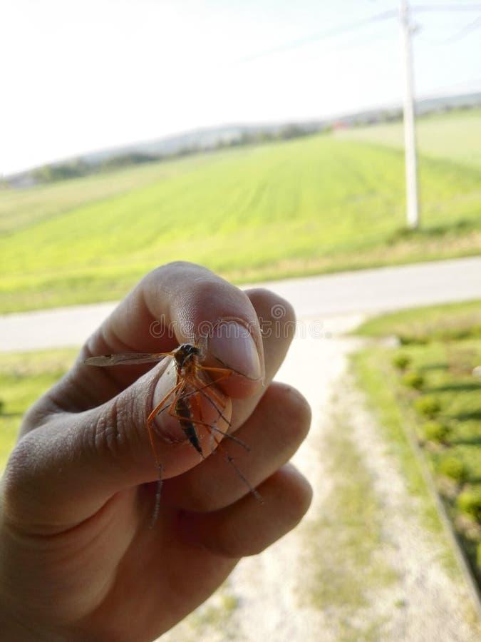 蚊子在一个人的手上 免版税库存图片