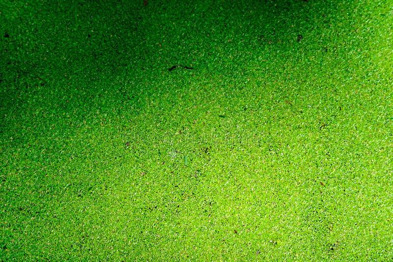 蚊子蕨类有水表面上的绿色和黄色颜色和秋天叶子 免版税图库摄影