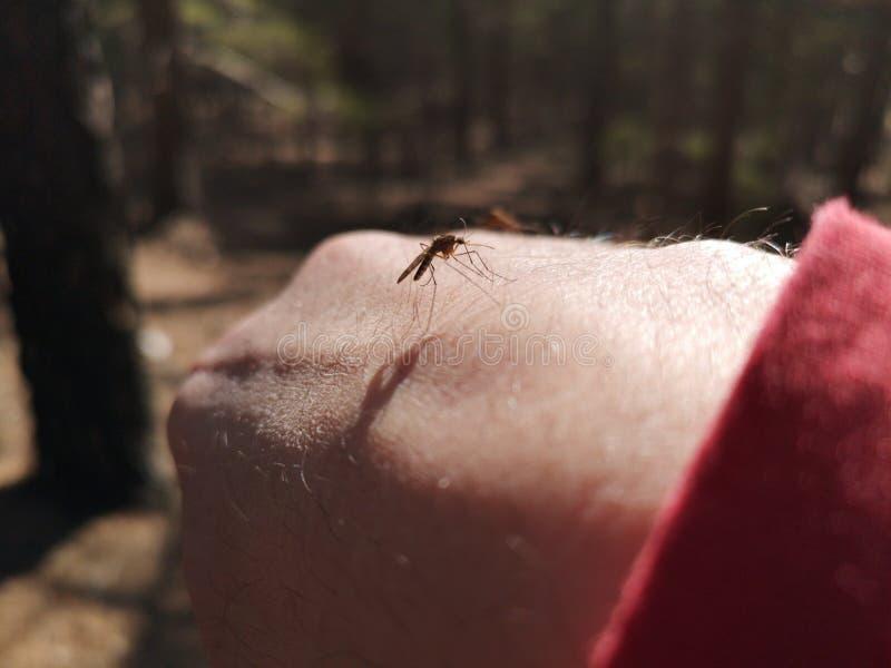 蚊子饥饿为在人的手上的血液 免版税库存图片