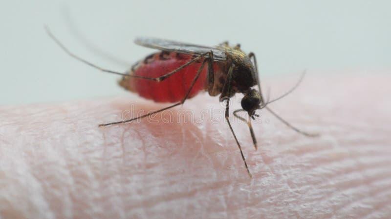 蚊子(伊蚊属aegypti)吮血液的宏指令 股票录像
