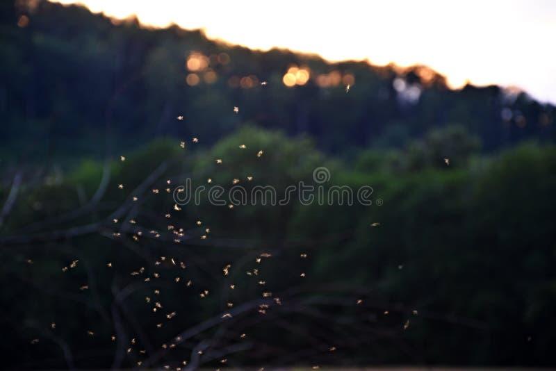 蚊子-小飞行 库存照片
