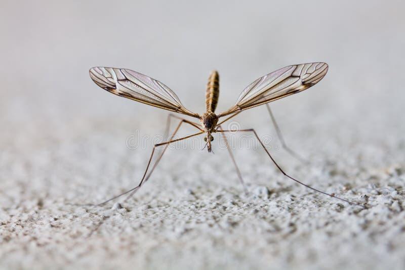 蚊子 免版税库存照片
