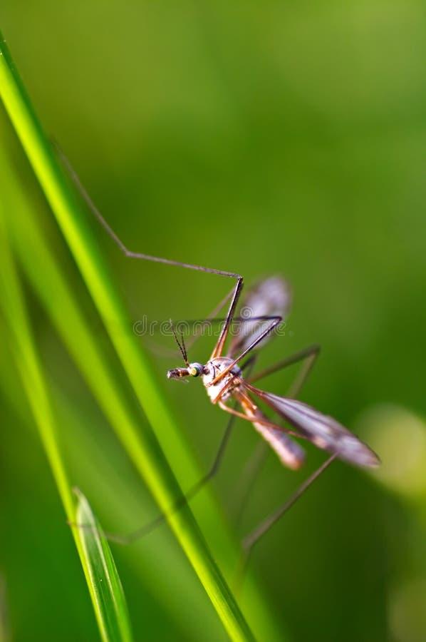 蚊子 库存图片