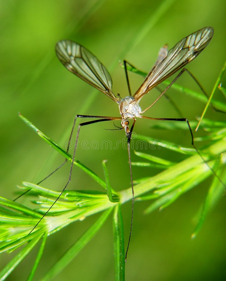蚊子 图库摄影