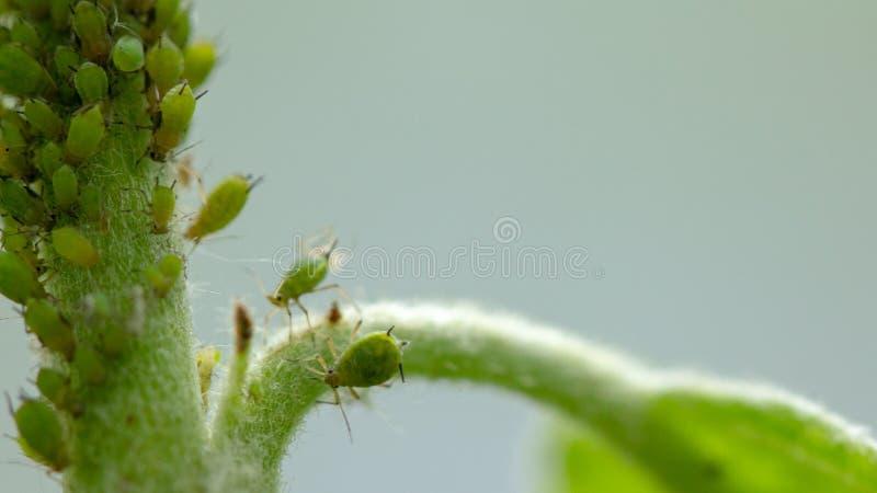蚜虫,一条虫,苹果树分支的 昆虫在植物的汁哺养,毁坏叶子,传播的疾病和 库存照片