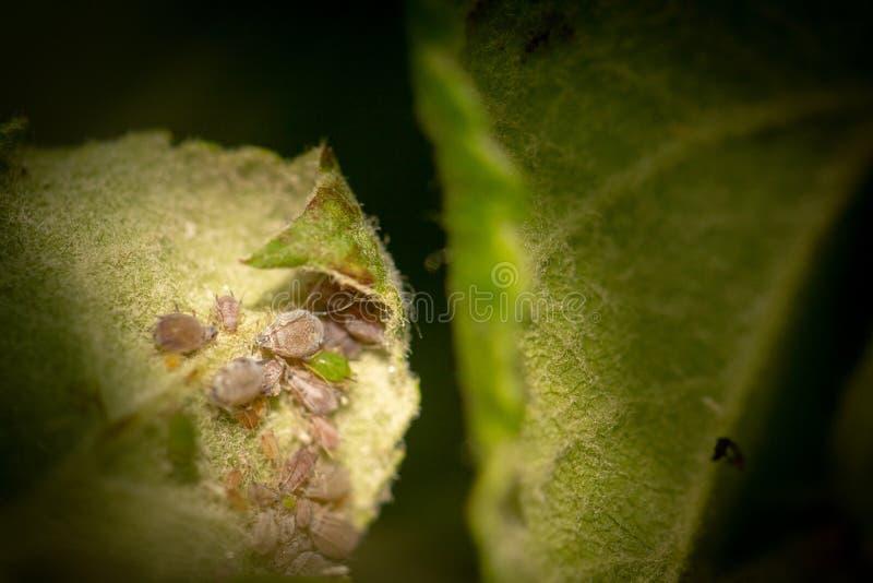 蚜虫,一条虫,苹果树分支的 昆虫在植物\'s汁液哺养,毁坏叶子,传播的疾病和 免版税库存图片
