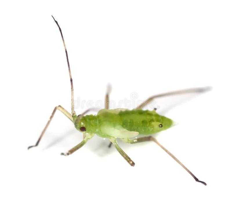蚜虫 库存照片