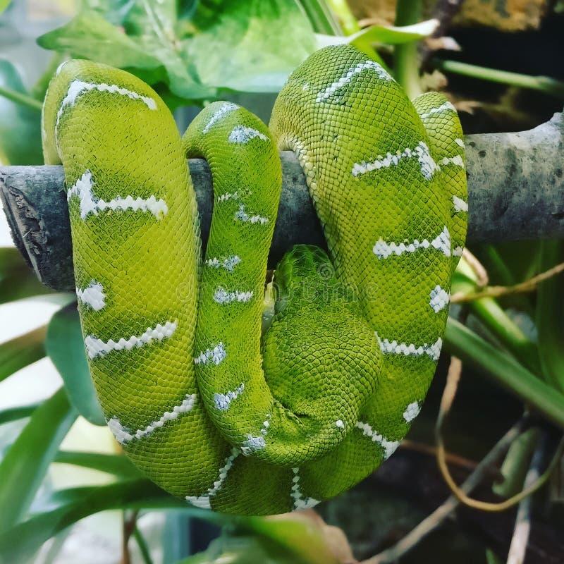 蛇动物园绿色美丽的动物 免版税库存图片