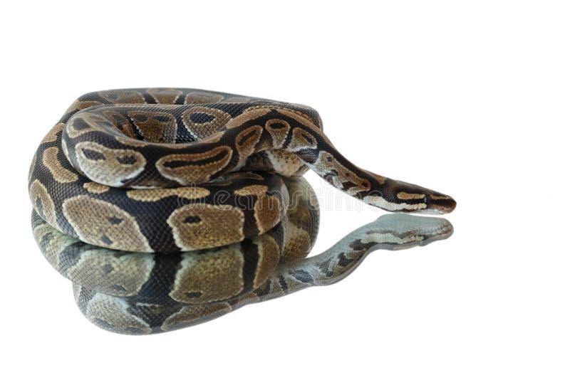蛇和它的反射 在镜子的谎言 免版税图库摄影