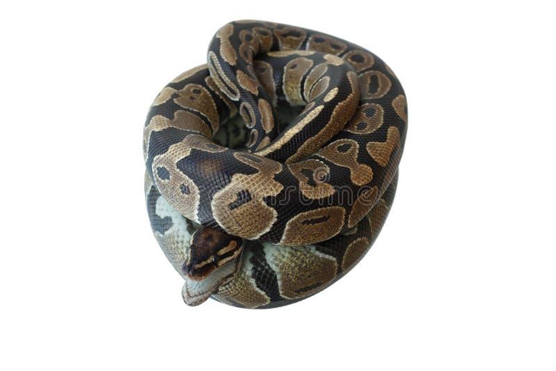 蛇和它的反射 在镜子的谎言 库存照片