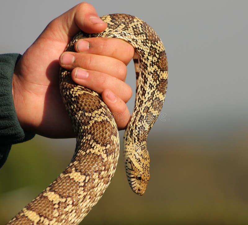 蛇在手中 库存照片