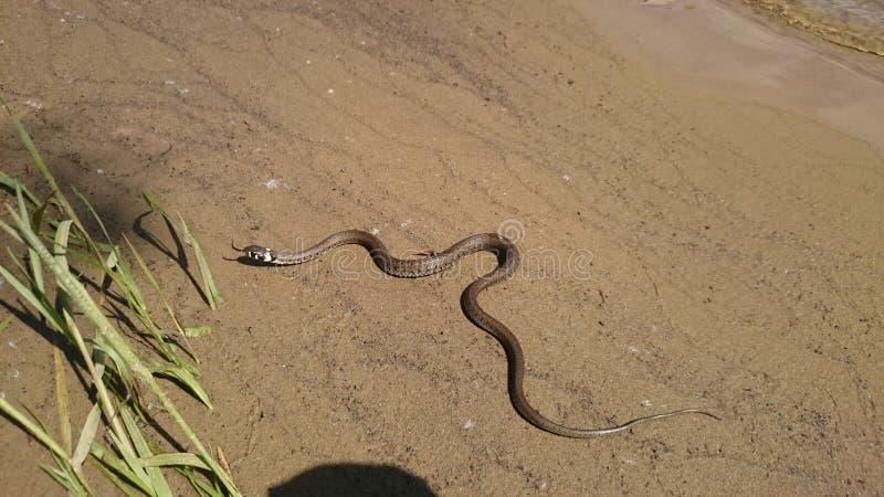 蛇在沙子的一条河 免版税库存照片