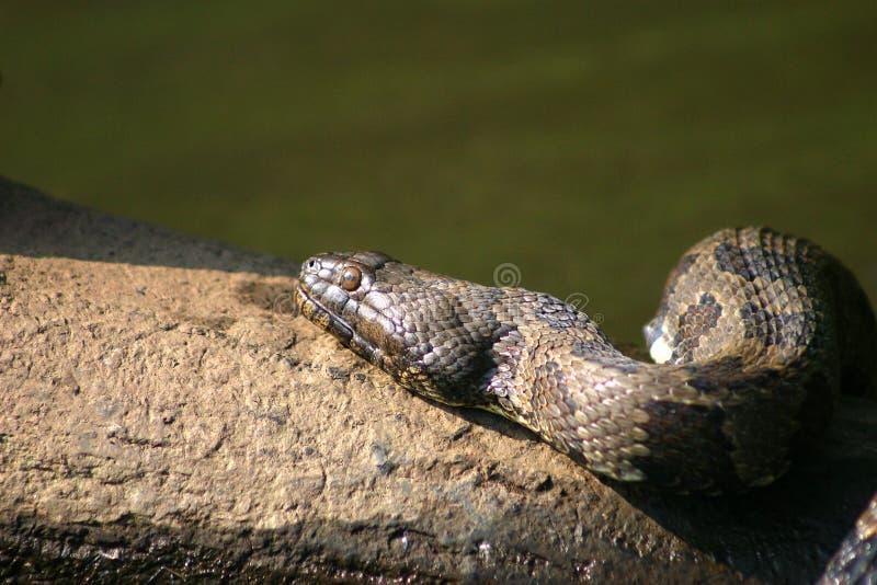 蛇水 免版税库存照片