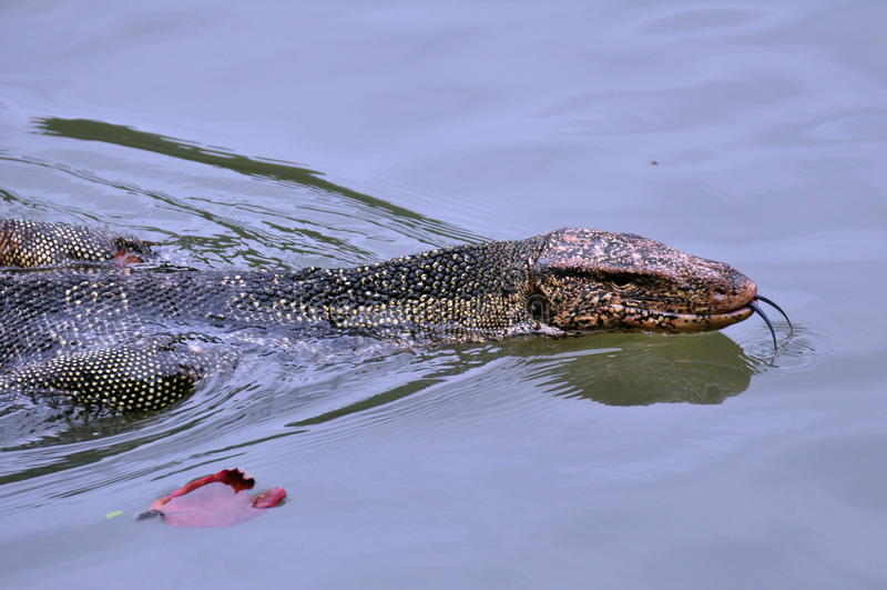 蛇游泳 免版税图库摄影