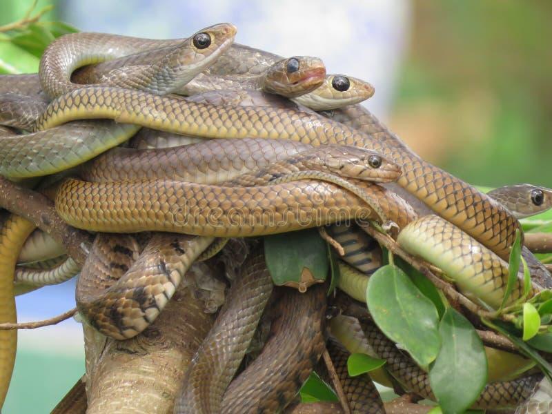 蛇球在一个分支的在绿色背景 动物园在越南 库存照片