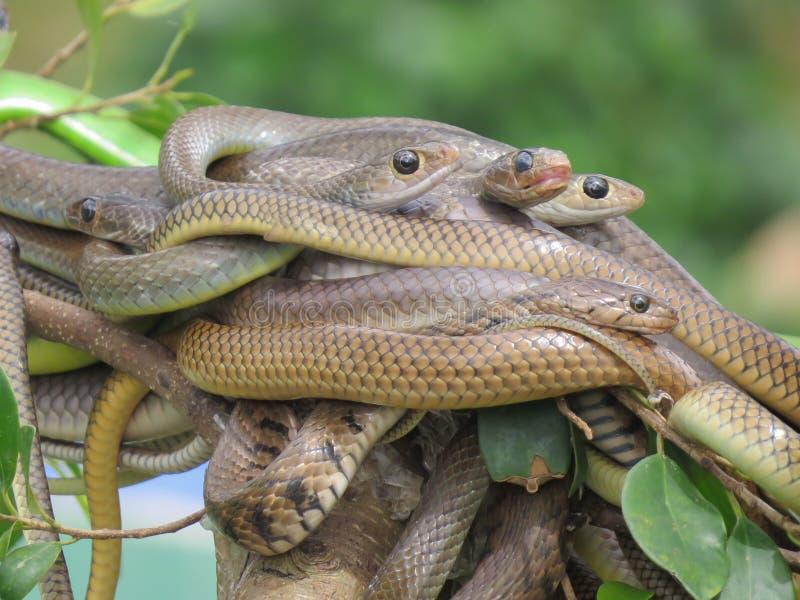 蛇球在一个分支的在绿色背景 动物园在越南 免版税库存照片