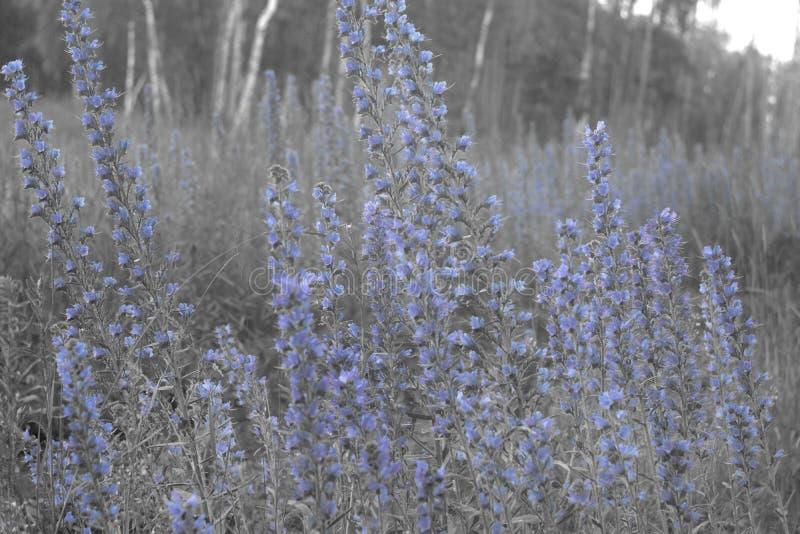 蛇蝎` s牛舌草高植物丛林有许多蓝色花的o 免版税库存照片