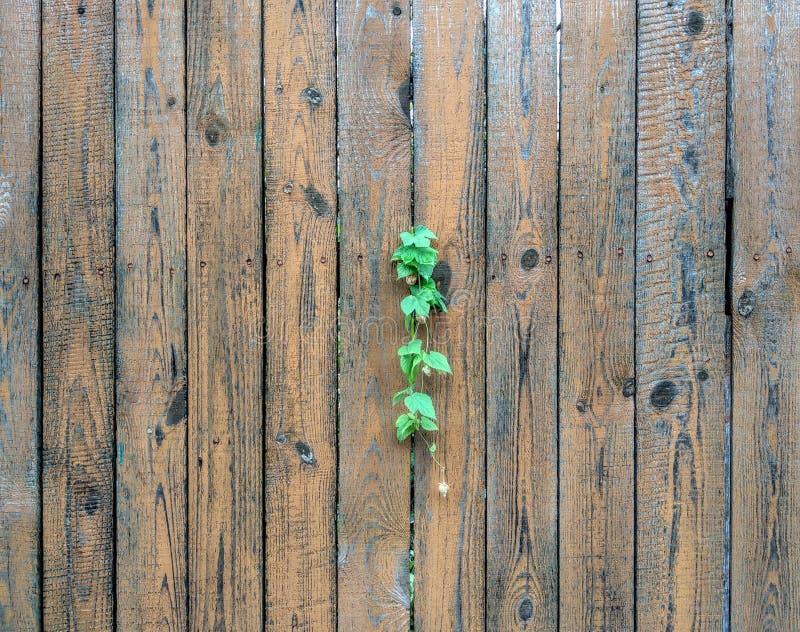 蛇麻草在木篱芭增长 免版税库存照片