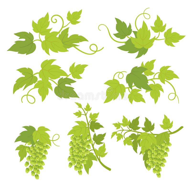 蛇麻草植物装饰元素 蛇麻草绿色叶子和锥体 Lupulus律草属 酿造酒吧啤酒商店的传染媒介平的例证 向量例证