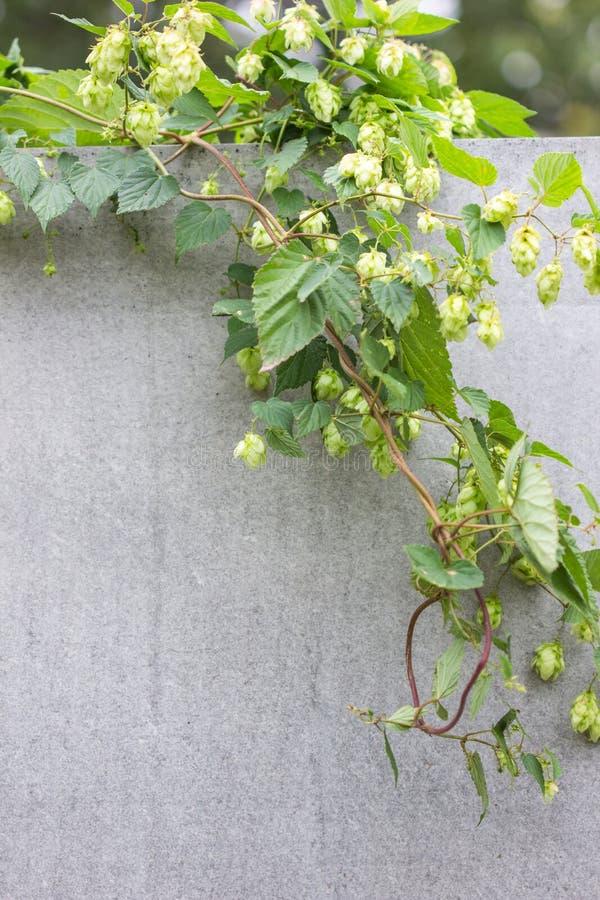 蛇麻草长大在蛇麻草农场的植物关闭 新鲜和成熟蛇麻草准备好收获 啤酒生产成份 酿造概念 f 库存照片