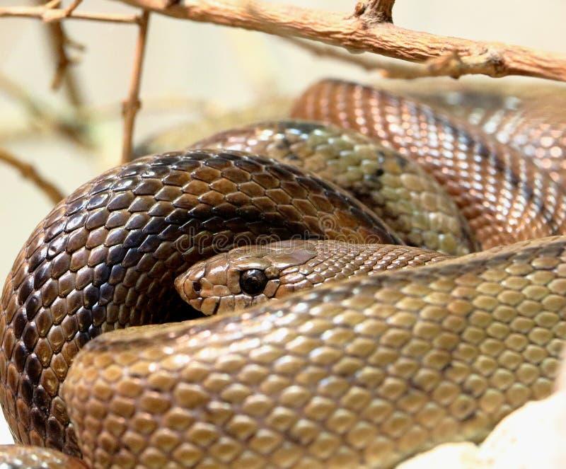 蛇,马达加斯加的蟒蛇 图库摄影