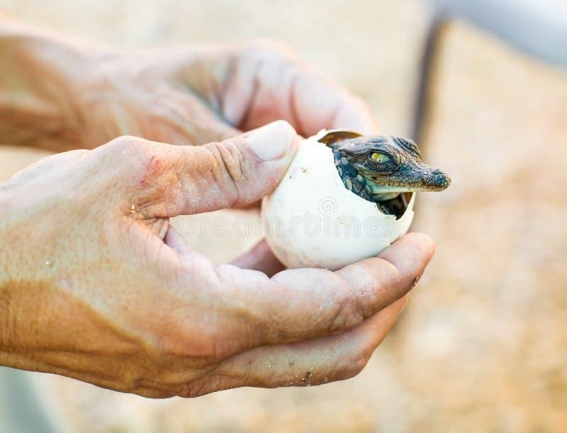 从蛋小美洲鳄 免版税库存图片