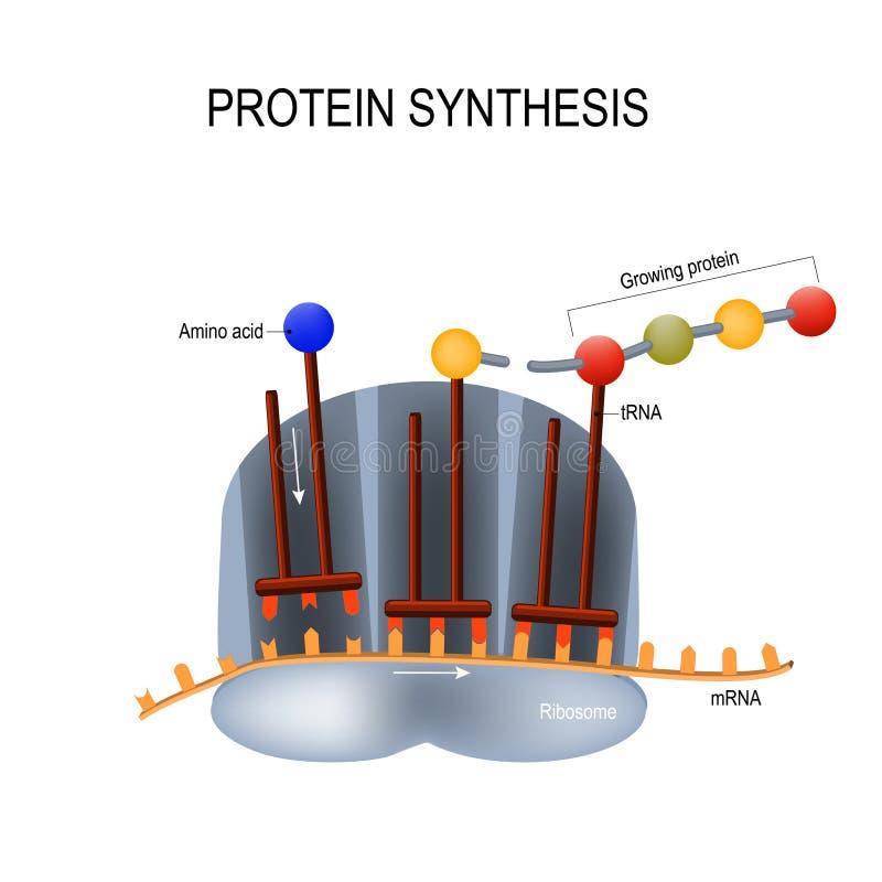 蛋白质综合 核糖体装配蛋白质分子 皇族释放例证