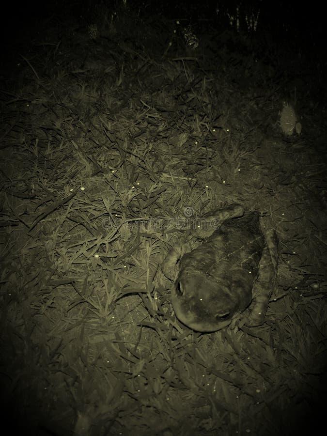 蛙 图库摄影