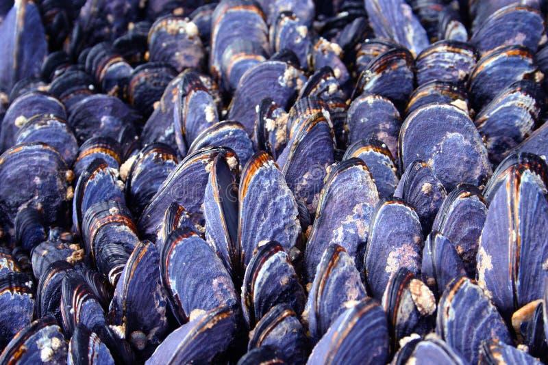 蛤蜊壳 免版税图库摄影