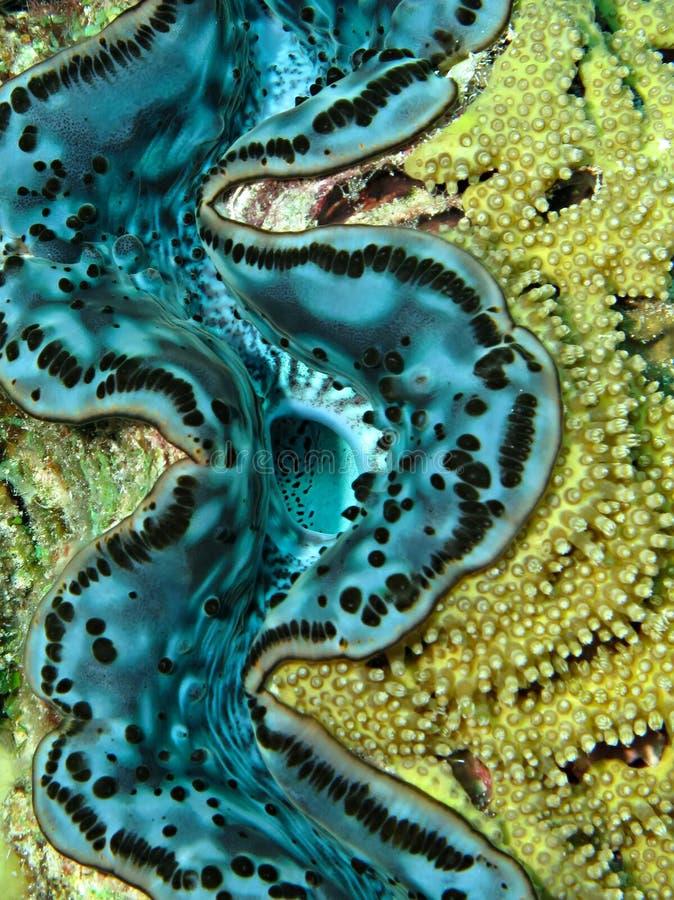蛤蜊被吹奏的巨人 免版税库存照片