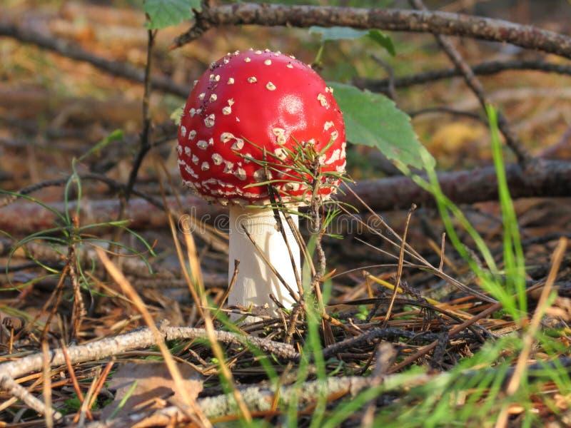 蛤蟆菌,蘑菇 免版税库存照片