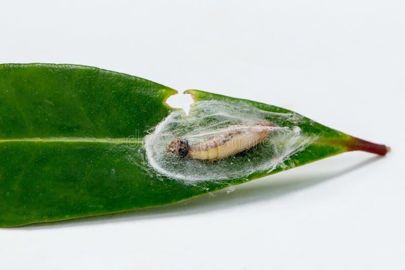 蛹箱子树飞蛾或Cydalima perspectalis 库存照片