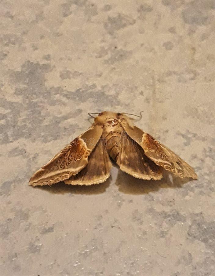 蛾的死亡 库存照片
